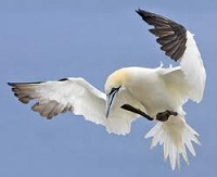 Seabird in the air